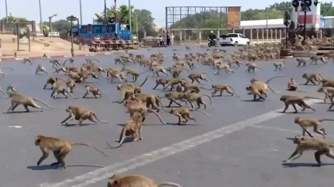 Monyet di Kawasan Wisata Thailand Disterilisasi Sering Bikin Onar